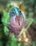 Adolescent Red Grouper - Close Up Royalty Free Stock Image