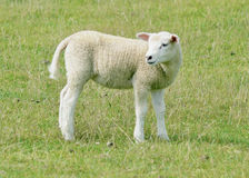 Adolescent sheep Stock Image