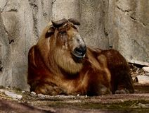Adolescent Sichuan Takin 1. This is an early Spring picture of a adolescent Sichuan Takin resting in its compound at the Lincoln Park Zoo located in Chicago stock image