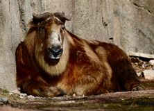 Adolescent Sichuan Takin #2. This is an early Spring picture of a adolescent Sichuan Takin resting in its compound at the Lincoln Park Zoo located in Chicago royalty free stock photo