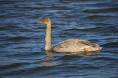 Adolescent Trumpeter Swan Cygnus buccinator) Swimming Royalty Free Stock Photo