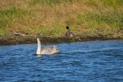 Adolescent Trumpeter Swan Cygnus buccinator) Swimming. An adolescent Trumpeter Swan Cygnus buccinator) swims along the Harrison River in BC, Canada Stock Photography