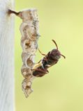 Adolescent wasp Royalty Free Stock Photos