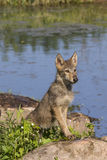 Adolescent wolf pup Royalty Free Stock Photos