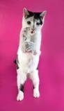 Adolescente agresivo del gatito blanco con los puntos negros que se colocan en el pi Imagen de archivo libre de regalías