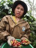 Adolescente como trabajador de granja que cosecha bayas de café Fotografía de archivo libre de regalías