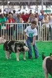 Adolescente con los cerdos en el estado de Iowa justo Imagenes de archivo