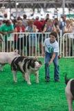 Adolescente con los cerdos en el estado de Iowa justo Imagen de archivo