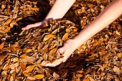 Puñado de hojas del roble Imágenes de archivo libres de regalías