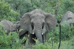 Adolescente del elefante Foto de archivo libre de regalías