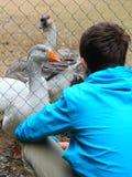 Adolescente e gansos no jardim zoológico imagens de stock