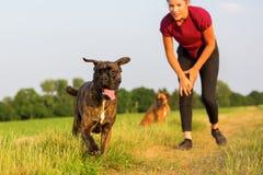 Adolescente jouant avec des chiens de boxeur Image libre de droits