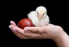 Adolescente joven que lleva a cabo un pollo amarillo del bebé y un rojo de pascua Imagen de archivo
