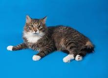 Adolescente mullido del gato de gato atigrado que miente en azul Fotos de archivo libres de regalías