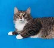 Adolescente mullido del gato de gato atigrado que miente en azul Imágenes de archivo libres de regalías