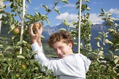 Adolescente sonriente que escoge una manzana Imágenes de archivo libres de regalías