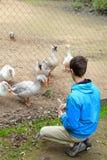 Adolescente y gansos en el parque zoológico Foto de archivo