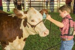 Adolescente y una novilla de Brown y blanca de la carne de vaca Imagen de archivo libre de regalías