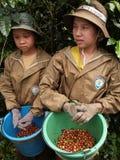 Adolescentes como trabajador de granja que cosecha bayas de café Imagen de archivo