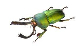 Adolphinae de Lamprima Foto de archivo libre de regalías