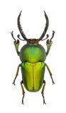 Adolphinae de Lamprima Fotografía de archivo libre de regalías