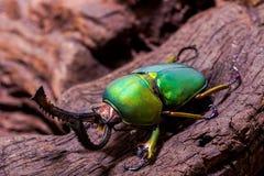 Adolphinae verdes de Lamprima del escarabajo de macho Fotos de archivo