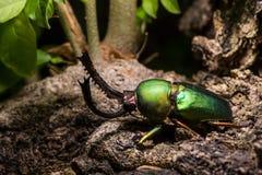 Adolphinae verdes de Lamprima del escarabajo de macho Foto de archivo
