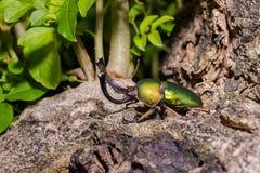 Adolphinae verdes de Lamprima del escarabajo de macho Imagen de archivo libre de regalías