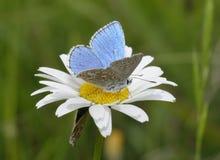 Adonis błękita motyl Obraz Royalty Free