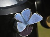 Adonis-Blau-Basisrecheneinheit Stockfotografie