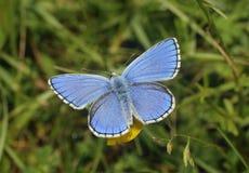 Adonis Blue Butterfly Lizenzfreies Stockbild