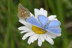Adonis Blue Butterfly Foto de archivo libre de regalías