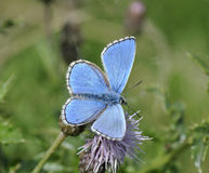 Adonis Blue Butterfly Stock Images