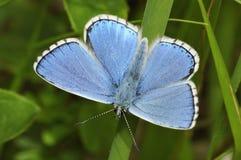 Adonis Blue Butterfly Lizenzfreies Stockfoto