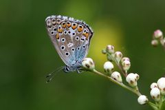 Adonis blue Royalty Free Stock Images