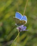 Adonis Blue Butterfly Lizenzfreie Stockfotografie