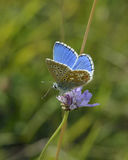 Adonis Blue Butterfly Royalty Free Stock Photography
