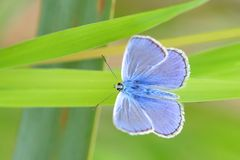 Adonis Blue Butterfly Macro Royalty Free Stock Photography