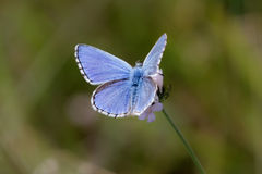 Adonis Blue Royalty Free Stock Image