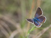 The Adonis blue butterfly Polyommatus bellargus female sitting on a blooming plant. Beautiful Adonis blue butterfly Polyommatus bellargus female sitting and stock photos
