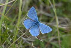 Adonis blue butterfly, Polyommatus bellargus. With wings open Stock Photography