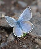 Adonis Blue Butterfly wird zu den Pfützen in der Fahrbahn angezogen Lizenzfreies Stockfoto