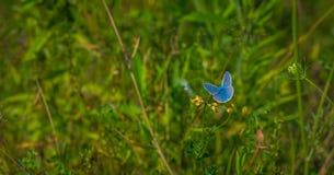 Adonis Blue-Schmetterling auf einer Blume Lizenzfreie Stockfotografie