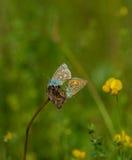 Adonis Blue-Schmetterling, der auf der toten Blume verbindet Lizenzfreie Stockfotografie
