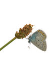 Adonis blue Stock Photography