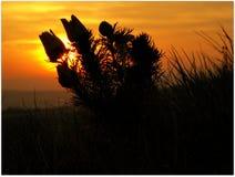 Adonis-Blume im Sonnenuntergang Lizenzfreie Stockbilder