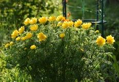 Adonis-Blumen Lizenzfreie Stockfotos