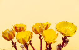 Adonis-Blumen Stockfotografie