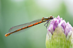 Adonis dragonfly Royalty Free Stock Photography