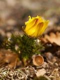 adonis Flor del resorte Imagen de archivo libre de regalías